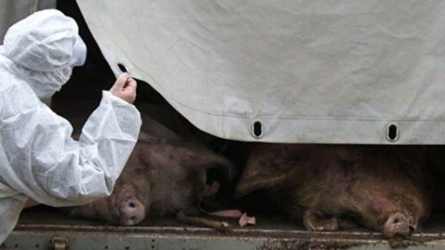 Африканская чума свиней в Савинском районе